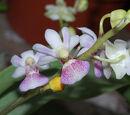 Doritaenopsis Tying Shin Glider