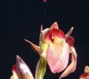 Serapias × pulae