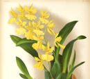 Orchid Morphology