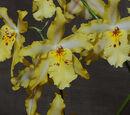 Odontoglossum Hambühren Gold
