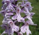 Dactylorhiza maculata