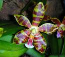 Phalaenopsis Mambo