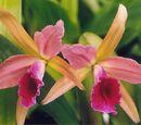 Cattleya Enid