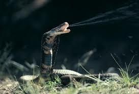 File:The spitting Cobra.jpg