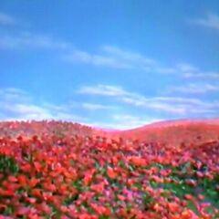 Poppies Oz
