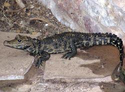 Bristol.zoo.westafrican.dwarf.croc.arp
