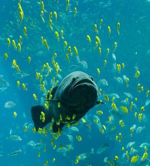 Georgia Aquarium - Giant Grouper edit
