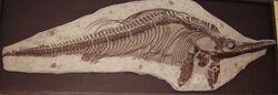 Ichthyosaur mounted skeleton