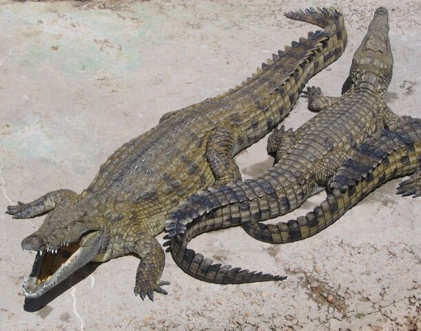 File:NileCrocodile.jpg