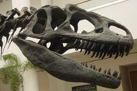 Allosaurus skull SDNHM