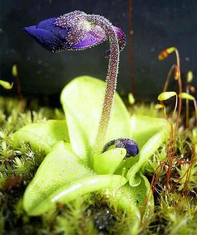 File:504px-Pinguiculagrandiflora1web.jpg