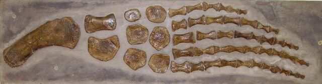 File:Plesiosaur paddle c.jpg