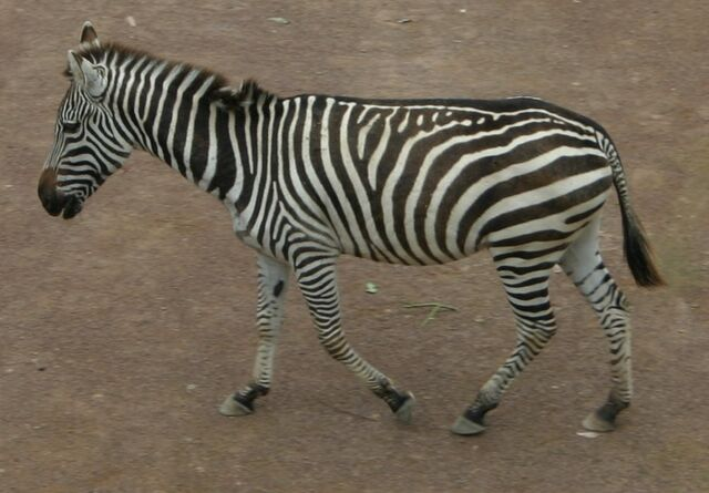 File:Zebra sideview.jpg