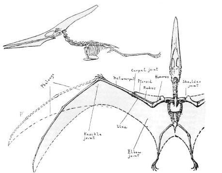 File:Pteronodon2.jpg