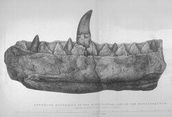 Buckland, Megalosaurus jaw
