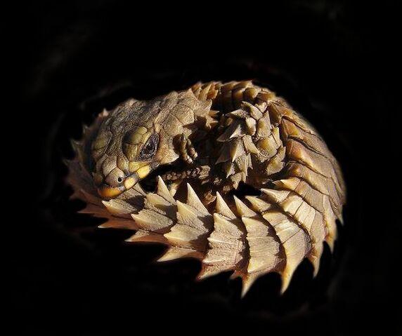 File:Armadillo Dragon.jpg