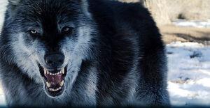 Grey-wolf-04