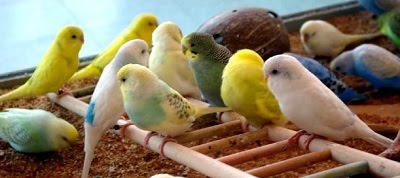 File:Budgie-flock-1-.jpg