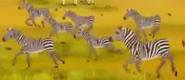 Kirikou Zebras