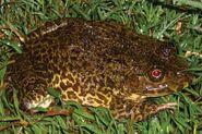 960px-Hoplobatrachus rugulosus 2
