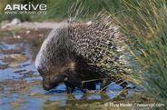 Cape-porcupine-drinking