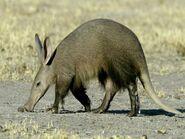 Aardvark 432 600x450