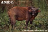 Forest-buffalo-side-view