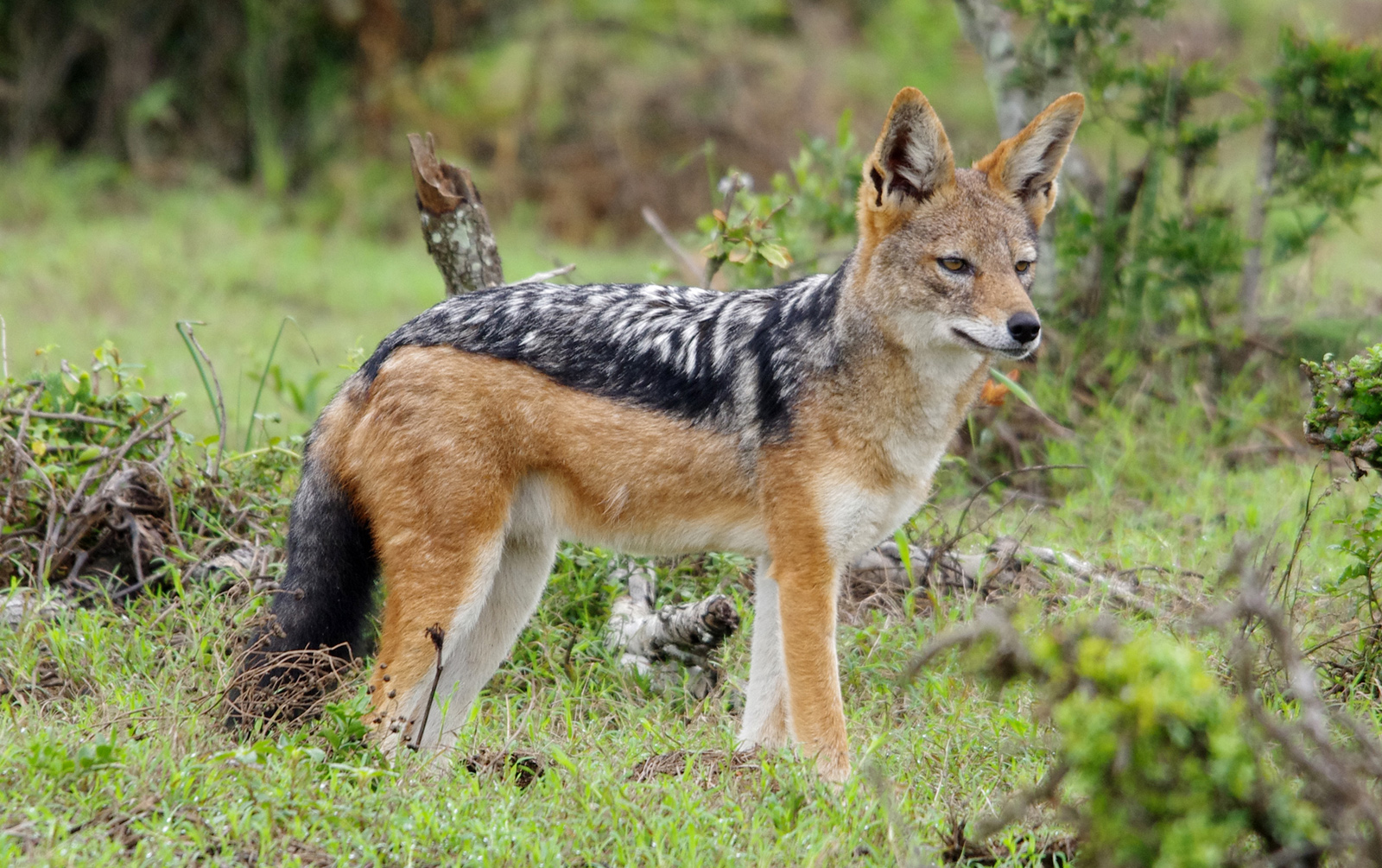 black backed jackal the parody wiki fandom powered by