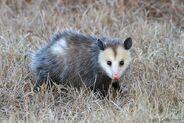 3-virginia-opossum