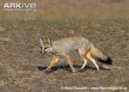 Indian-fox-running