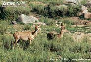 Burmese-brow-antlered-deer-stag-and-hind