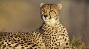 Cheetah-watching.jpg.adapt.945.1