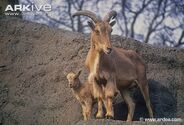 Barbary-sheep-adult-and-infant