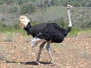 Ostrich, Common w1