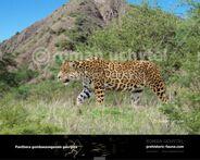 Panthera-gombaszoegensis-georgica-738x591