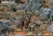 Common-wallaroo-subspecies-erubescens-in-arid-habitat
