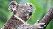 Koala-closeup-tree.jpg.adapt.945.1