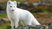Arctic-fox-wallpaper-9766-10161-hd-wallpapers