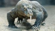 Komodo-dragon-head-on
