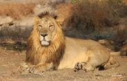 Dr-HS-Singh-Asiatic-lion