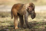 Rhesus-Macaque-8572
