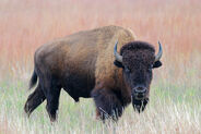 Pictures-of-American-Bison