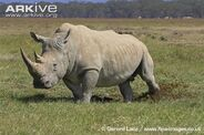 Southern-white-rhinoceros-scraping-dung-with-hind-foot---marking-territory