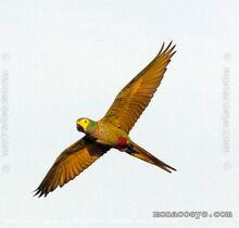 Orthopsittaca manilata red bellied macaw 02