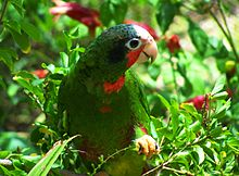 File:220px-Cuban Amazon Parrot in the Cayman Islands.jpg