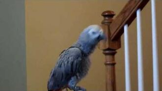Parrot Singing Spongebob Song
