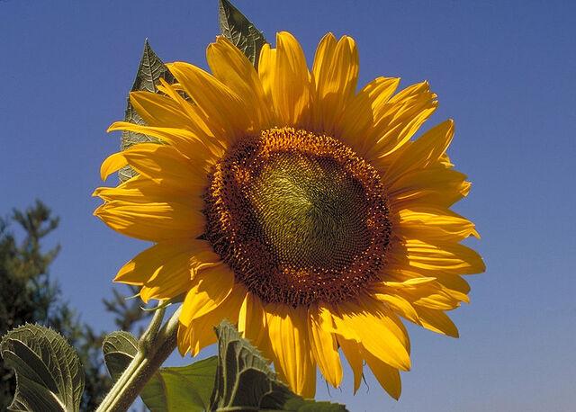File:800px-Sunflower10094-1-.jpg