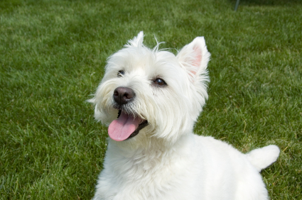File:West Highland White Terrier in grass.jpg