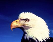 BirdBaldEagleBlueSky