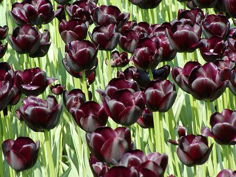 File:Tulip.jpg